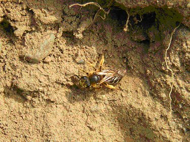Solitary bee on mud bank