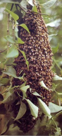Swarm of bees hanging in a branch